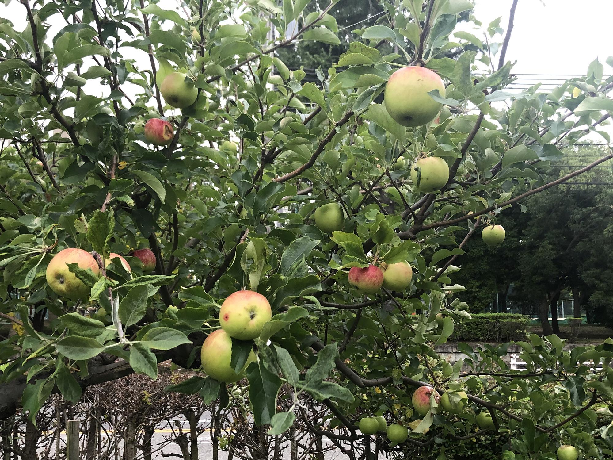 臨港線の震災復興りんごの木たくさんなってますよ~。